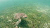 underwater video : Underwater view of Sea Turtle in tropical water, Akumal in Mexico