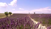 fitoterapia : Fields of blooming lavender flowers (Provence, France)