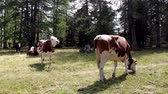 Organic dairy cows graze in the French Alps Stock Footage