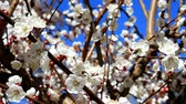 apricot : Blossomed apricot and bees relentlessly pollinate beautiful, white flowers.