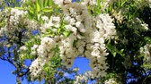 акация : On branches of trees, white flowers of acacia, bees swarm around and collect pollen. Стоковые видеозаписи