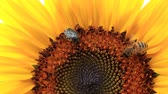 antílope : Beetle, bee and ant, amicably collect pollen and nectar from ripe sunflower.