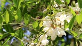 édes : The bee collects pollen and nectar from the flowers of the acacia.