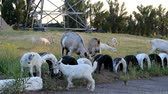 chew : Two goats play and jump on the tires of the car, which are visible from the ground
