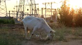 The goat eats grass on the field near the power station. Стоковые видеозаписи