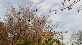 Crows sit on the branches. Stock mozgókép