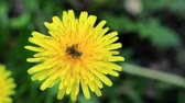 The bee bathes in the pollen of the yellow dandelion. Bees have a long proboscis which they use to suck up plant nectar. Стоковые видеозаписи