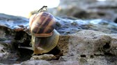 caracol : The snail slowly crawls over the stone, on top of it.