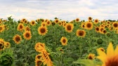Ripe sunflowers on a huge field, create a play of colors, green stems.