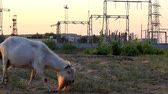 The pedigree goat on the field is eating grass, in the background we see the towers of the lines of electro transfer.