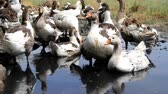 Pedigree geese gathered in a flock, they drink dirty water from a puddle after a rain.