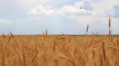 Wheat spikes ripen and flutter in the wind, they stretch towards the sky, towards the sunlight. Stock mozgókép