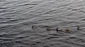A group of wild ducks slowly floats along the river, one duck stops and spreads its wings.