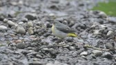 Grey wagtail, Motacilla cinerea, single male by water, Warwickshire.
