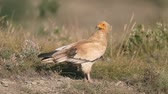 Egyptian vulture, Neophron percnopterus, Single bird on ground, Spain, July 2016