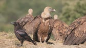 Griffon vulture, Gyps fulvus, Group of birds on floor, Spain, July 2016 Vídeos