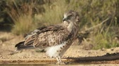орел : Short-toed eagle, Circaetus gallicus, Single bird by water, Spain. Стоковые видеозаписи