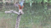pták : Kingfisher, Alcedo atthis, single male on branch, Warwickshire.