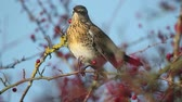 Fieldfare, Turdus pilaris, Single bird in hawthorn bush, Warwickshire.