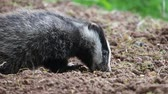 European badger, Meles meles, single cub at sett, Warwickshire.
