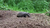 млекопитающие : European badger, Meles meles, single cub at sett, Warwickshire.