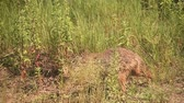 European jackal, Canis aureus moreoticus, Single mammal on grass, Romania.