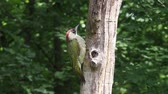 Green woodpecker, Picus viridis,  single bird on branch, Hungary.