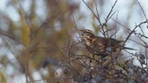 Redwing, Turdus iliacus, Single bird eating sloe berries, Warwickshire,