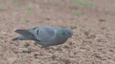 Stock dove, Columba oenas, single bird on ground,   Warwickshire. Vídeos