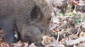 porco : Wild boar, Sus scrofa, single animal, Forest of Dean, Gloucestershire.