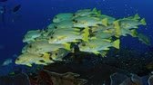 recife : Very big school of Ribboned sweetlips, Plectorhinchus polytaenia, at Raja Ampat, West Papua, Indonesia