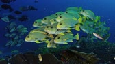 sinema : Very big school of Ribboned sweetlips, Plectorhinchus polytaenia, at Raja Ampat, West Papua, Indonesia