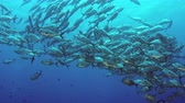 kino : A huge school of jacks (caranx latus, horse eye jack) at open ocean, indonesia, slow motion, shot on RED Dostupné videozáznamy