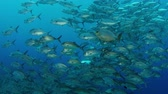 jackfish : A huge school of jacks (caranx latus, horse eye jack) at open ocean, indonesia, slow motion, shot on RED Stock Footage