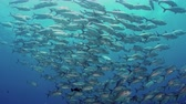 deniz yaşamı : A huge school of jacks (caranx latus, horse eye jack) at open ocean, indonesia, slow motion, shot on RED Stok Video