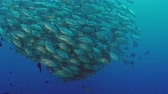 escarlate : A huge school of jacks (caranx latus, horse eye jack) at open ocean, indonesia, slow motion, shot on RED Vídeos