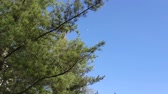 cedro : Pine branch against the blue sky in early spring