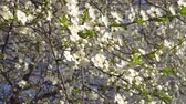 cherry blossom branch : spring white flowers of a cherry tree in the wind 4K Stock Footage