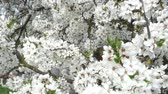 feel : white Sakura flowers close - up in the wind Stock Footage