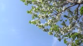 szilva : blooming April cherry blossom against the blue sky. 4K Stock mozgókép
