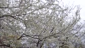 cherry blossom branch : Cherry blossom in April. Cherry branches in the wind 4k Stock Footage