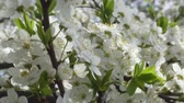 nişan : Cherry blossom in April. Cherry branches in the wind 4k Stok Video