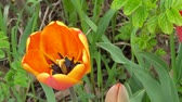 тюльпаны : macro video of a beautiful orange Tulip in the afternoon