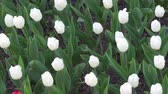 тюльпаны : buds of white tulips in the Park on the flower bed Стоковые видеозаписи