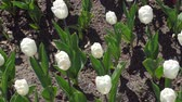tulipa : buds of white tulips in the Park on the flower bed Stock Footage
