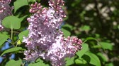 leylak : May blooming lilac on a Sunny day. 4K