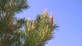 pinha : Young green pine cones on a pine tree