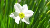 white narcissus : Flower Narcissus close-up in the garden. 4k Stock Footage