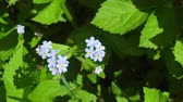 ботаника : Brunner spring flower or forget-me-in garden Стоковые видеозаписи