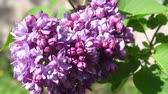 maj : May blooming lilac on a Sunny day. 4K